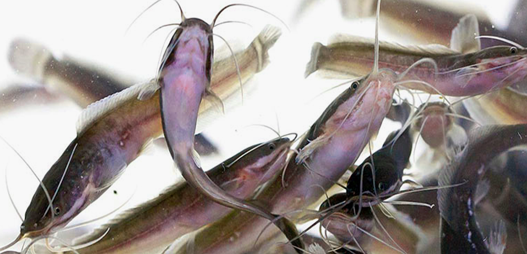 Ministry of Environment, Water, and Agriculture Bans Importing Cat Fish from Mozambique