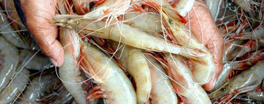 Saudi Food & Drug Agency suspends importing shrimps from 9 Indian states